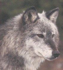 wolf26