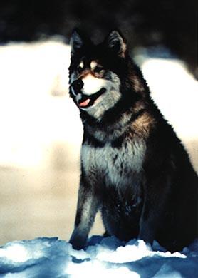 wolfdog2